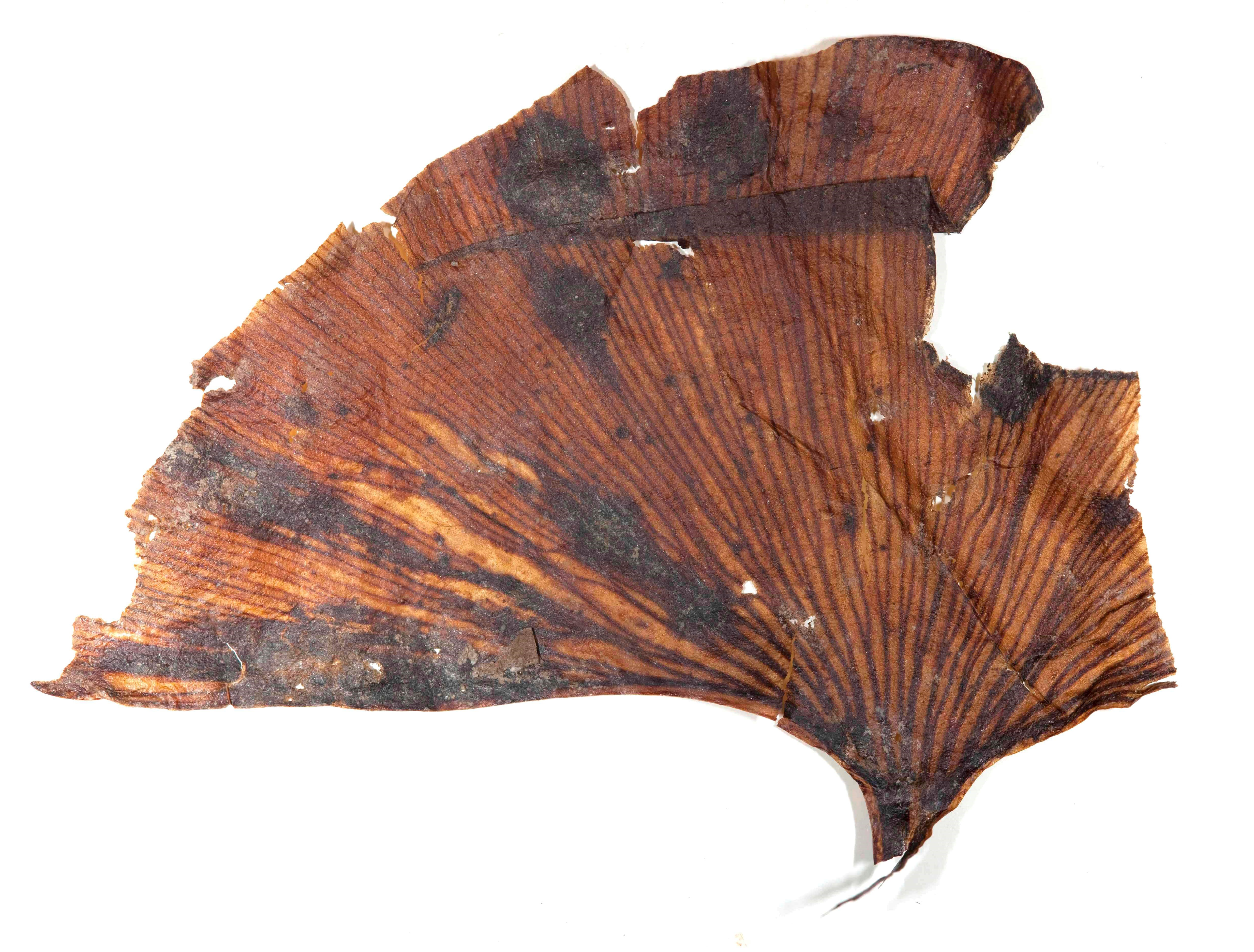 A 56.1 million year old fossil Ginkgo leaf with an almost identical shape to leaves from modern trees. (Scott Wing, Smithsonian)