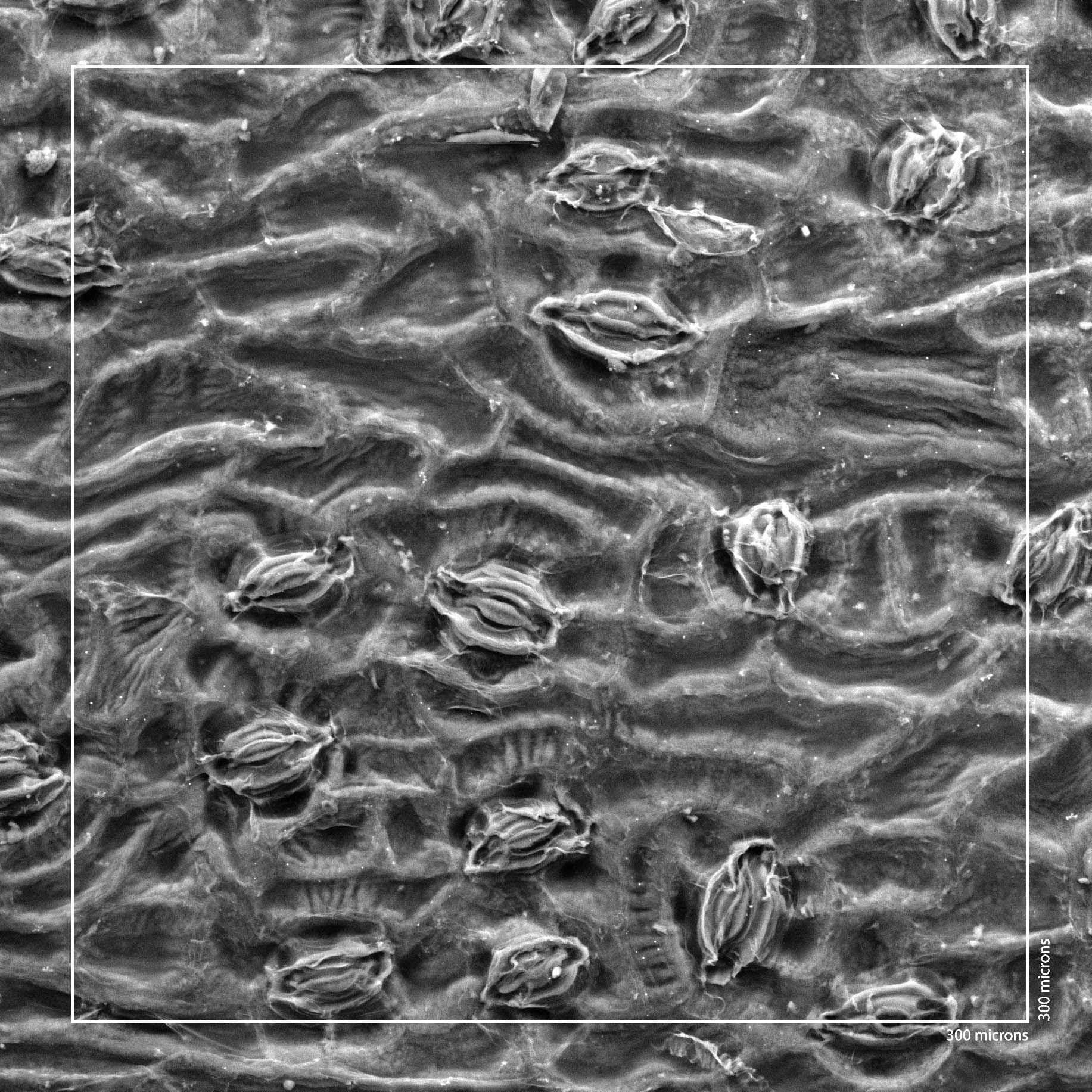 A microscope image of the surface of a ginkgo leaf.  You can clearly see the stomata and the regular cells.  These are what citizen scientists will be counting. (Rich Barclay, Smithsonian)