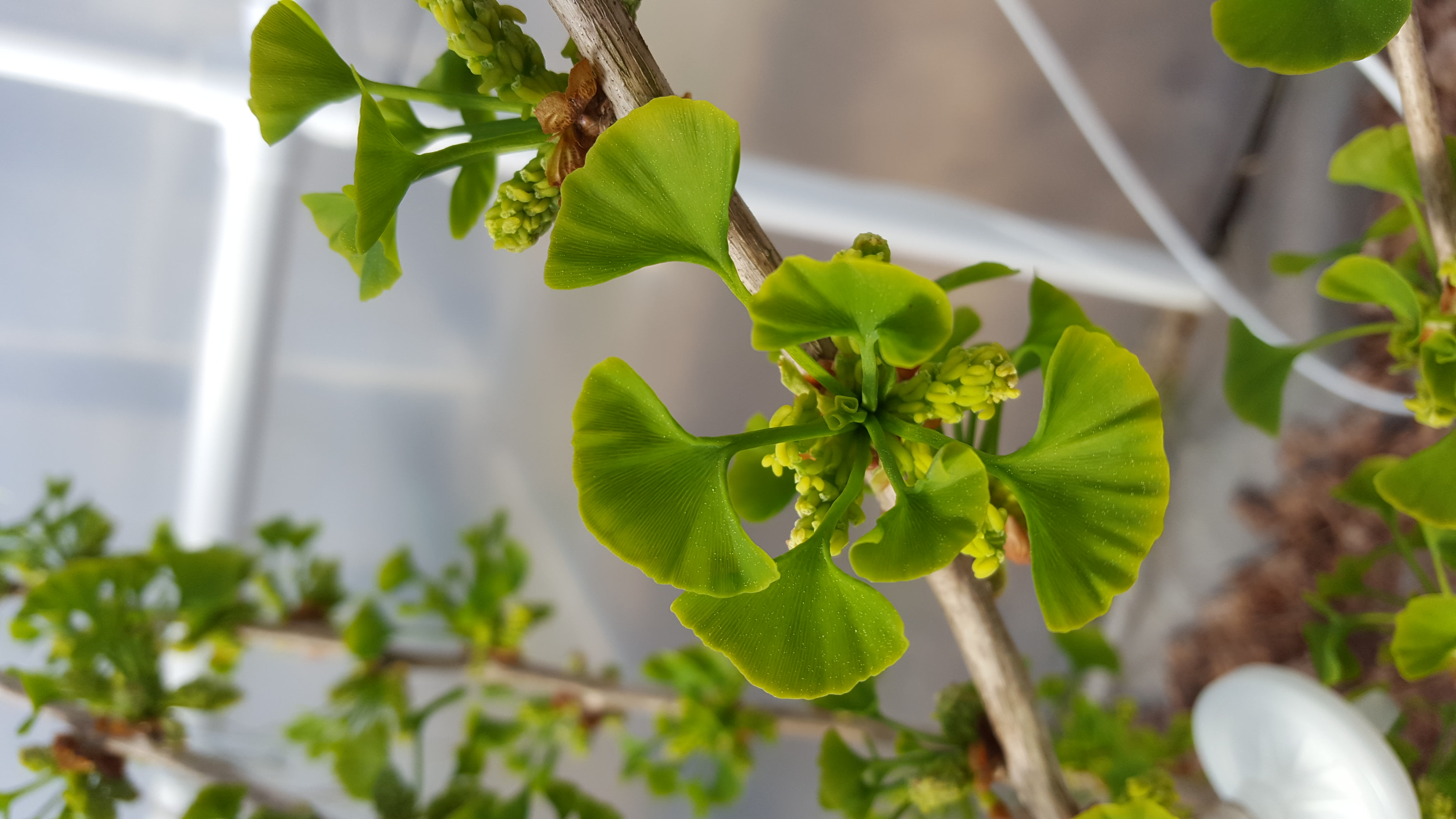 Ginkgo trees sprout new green leaves in the spring. (Rich Barclay, Smithsonian)