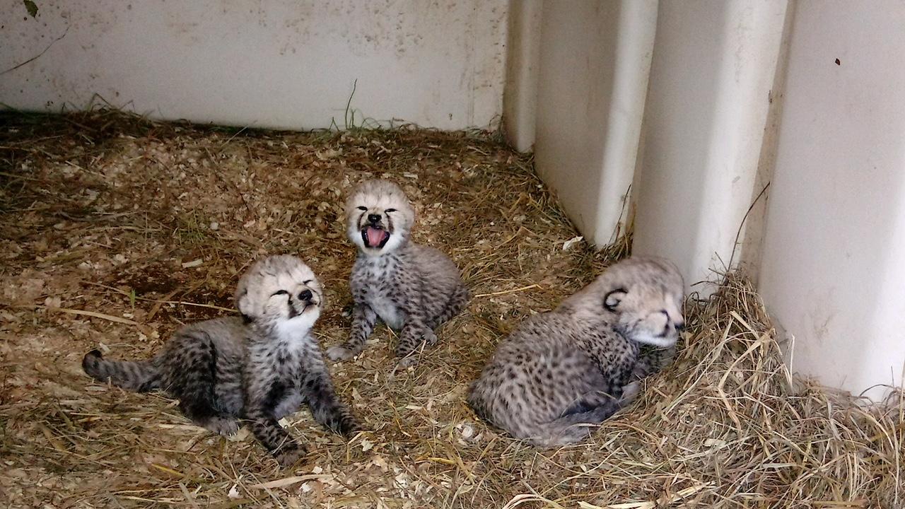 Three cheetah cubs