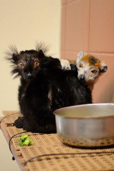 The lemur center is home to 15 species of lemur.