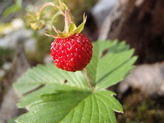 fraises des bois the best strawberry you ve never had. Black Bedroom Furniture Sets. Home Design Ideas