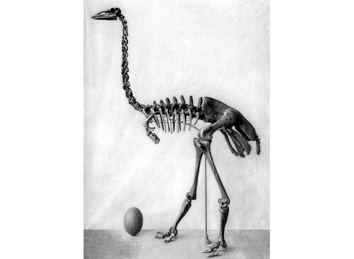 Aepyornis maximus elephant bird