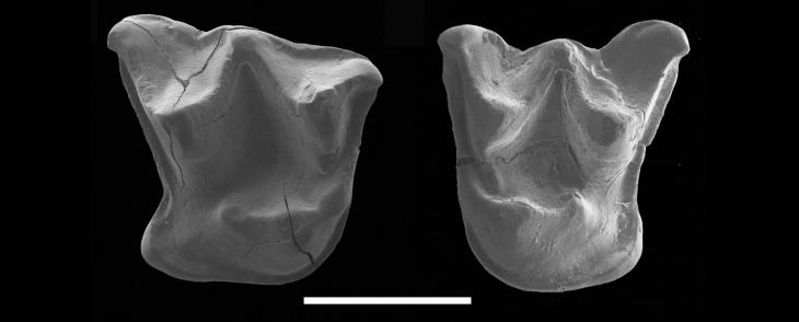 Mystacina miocenalis teeth