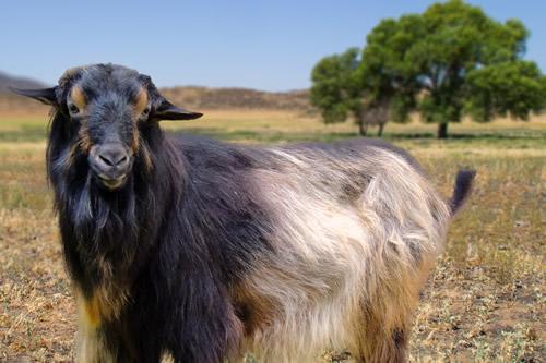 papadum_goat.jpg