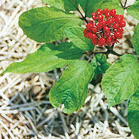 Panax ginseng root extract has been used in traditional East Asian medicine for centuries.