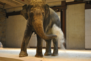 Shanti plays in the sand! The Elephant Community Center has heated floors covered in 1.2 meters of sand.
