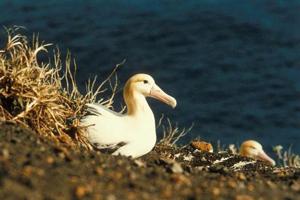 Short-tailed albatrosses