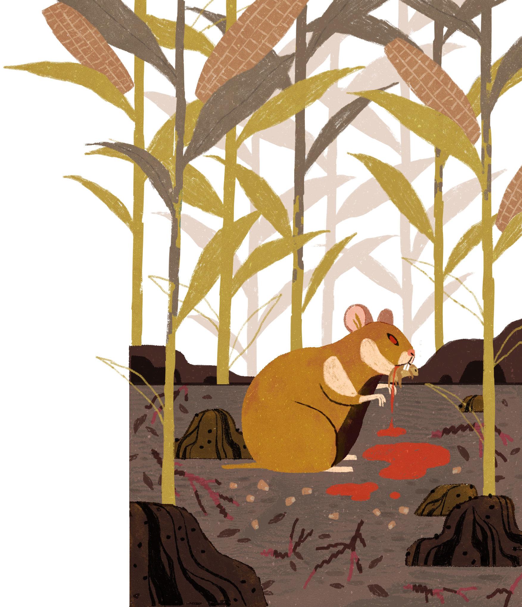 Corn-fed hamsters