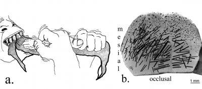 teeth illustration