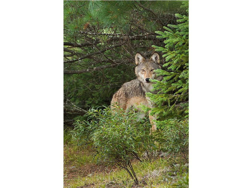 Algonquinwolfbehindspruce.jpg