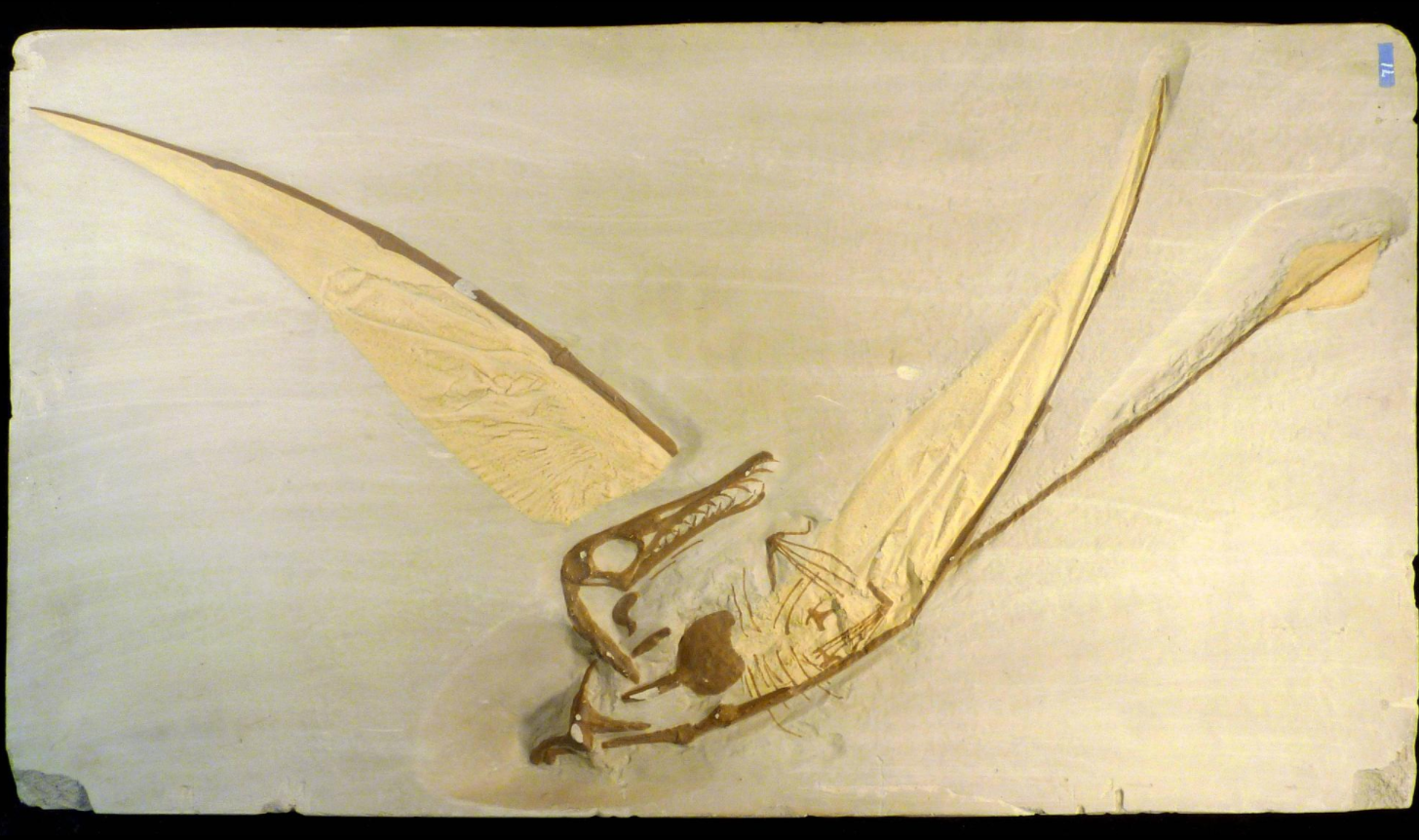 Cast made from the complete skull and skeleton of a pterodon found in Bavaria, Germany. (Smithsonian / NMNH Paleobiology)