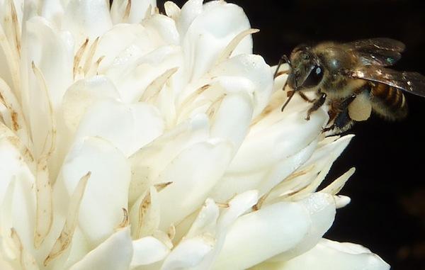 A honeybee drinks nectar from a coffee flower.