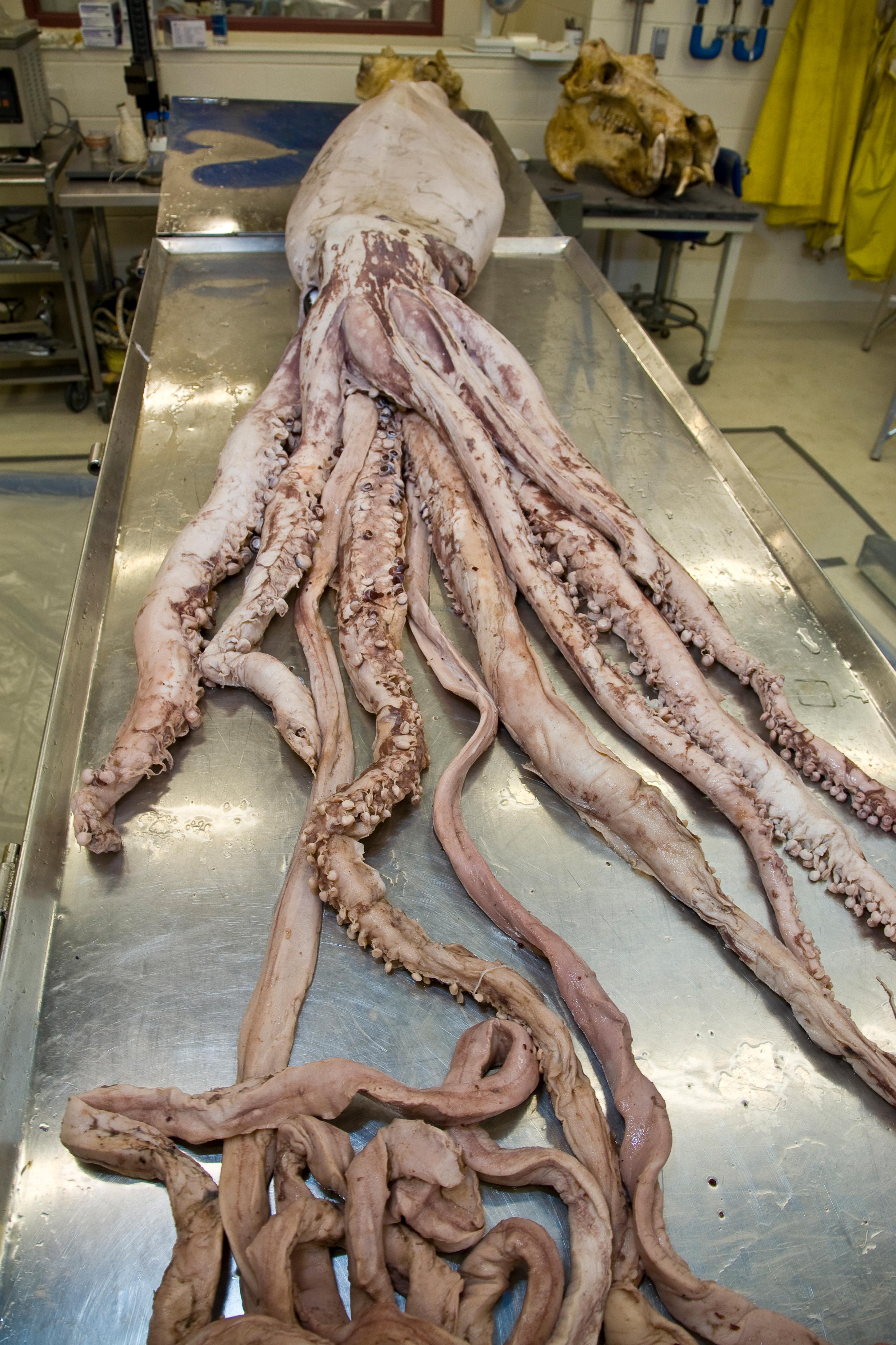 giant squid full length