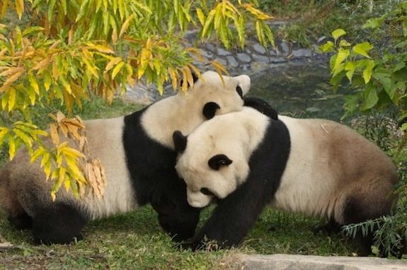 Take a tip from the National Zoo's giant pandas, a hug can go a long way.