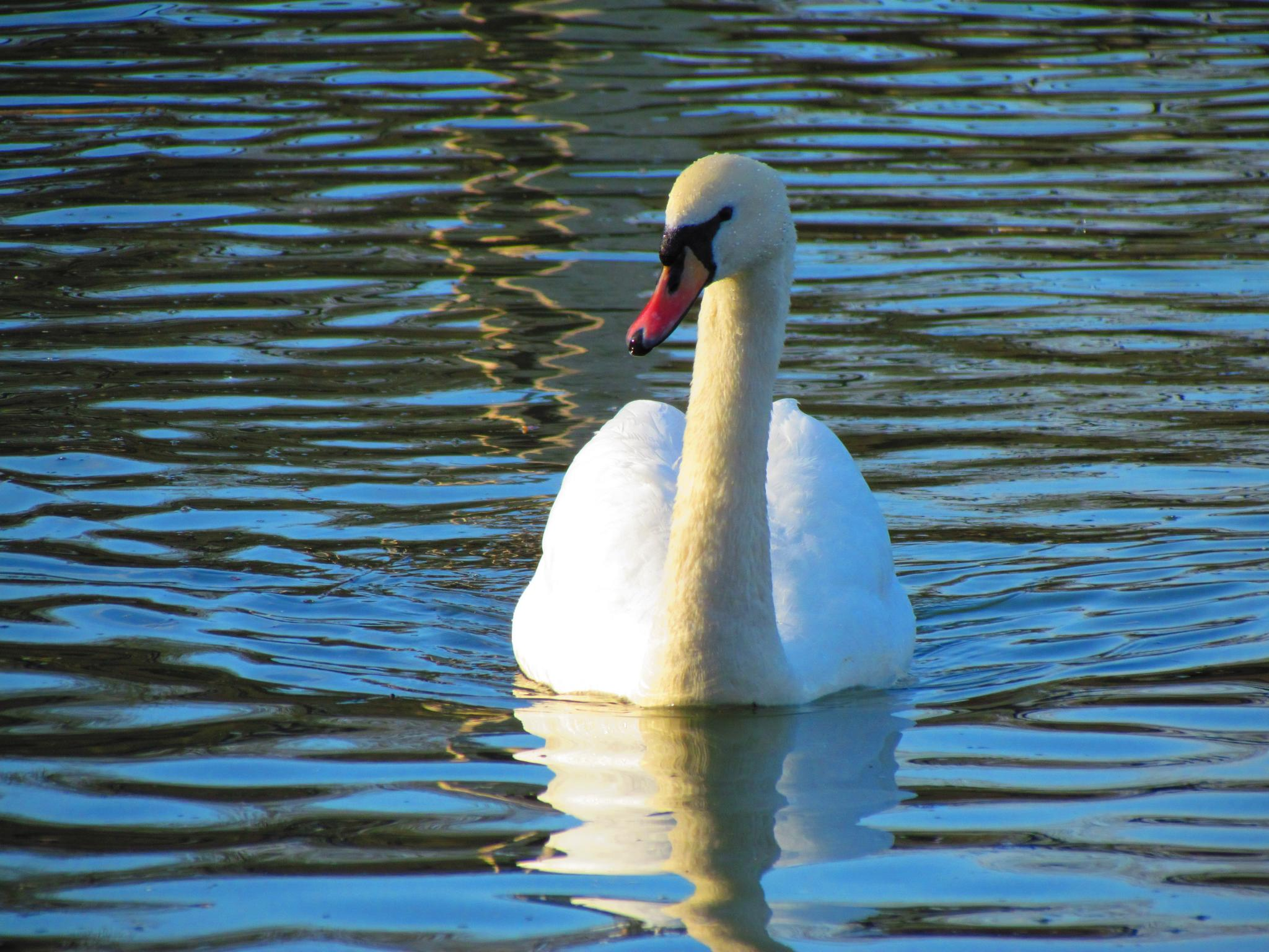 Swans Have Come Back >> The Fascinating, Regal History Behind Britain's Swans | History | Smithsonian