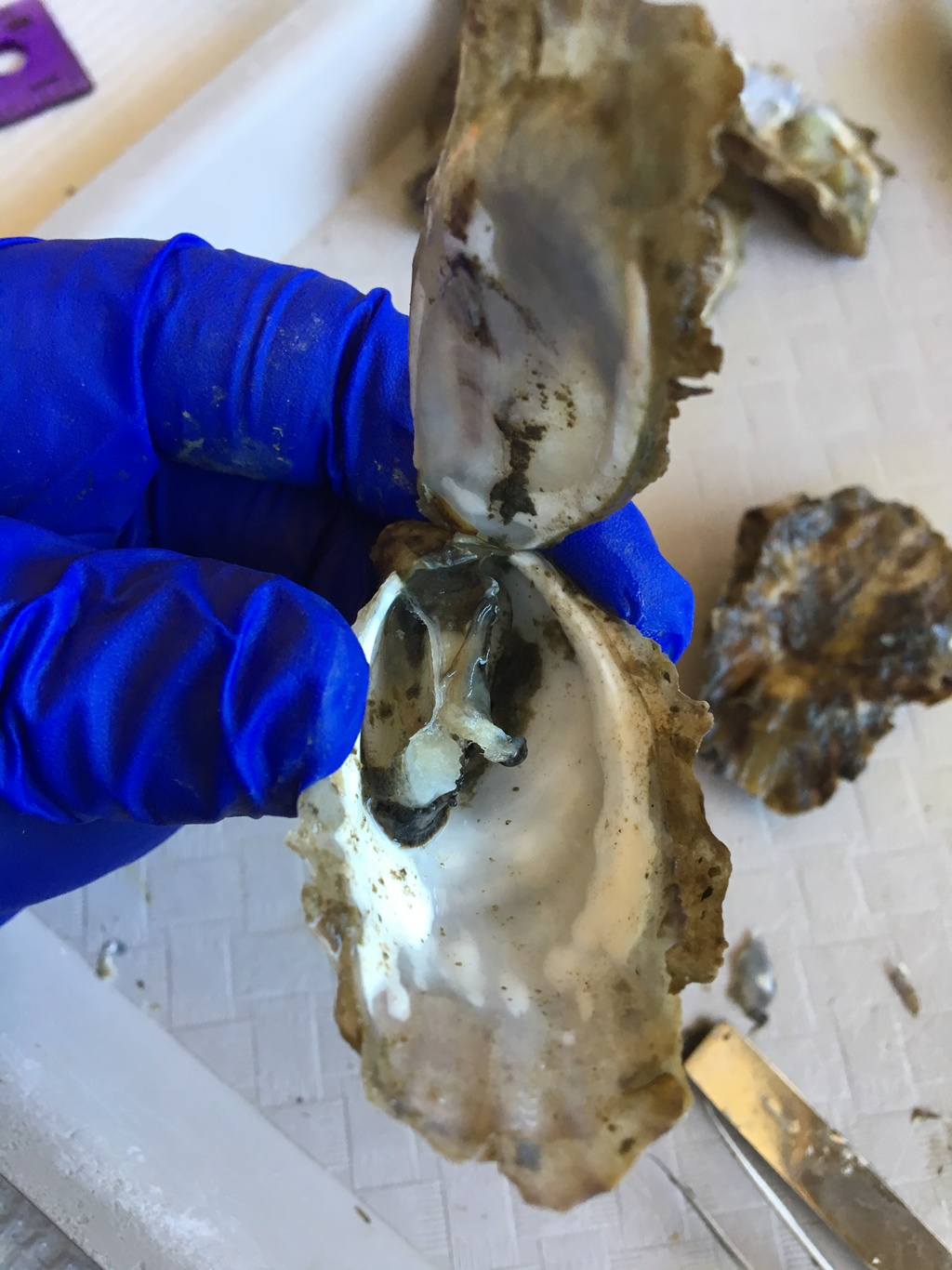 Dead Pacific oyster sampled
