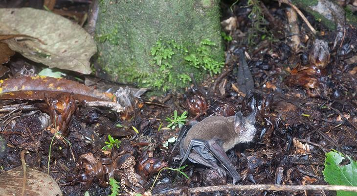Mystacina tuberculata in forest