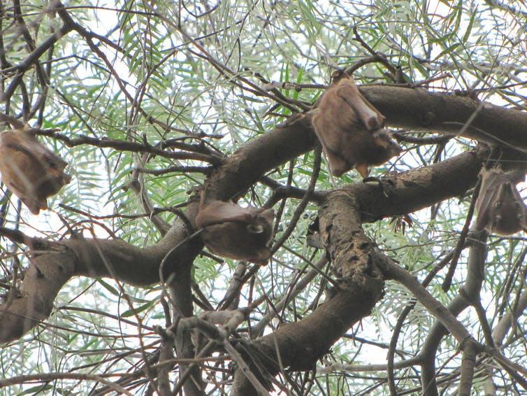 Wahlberg's epauletted fruit bats (Epomophorus wahlbergi) roosting in Tanzania.