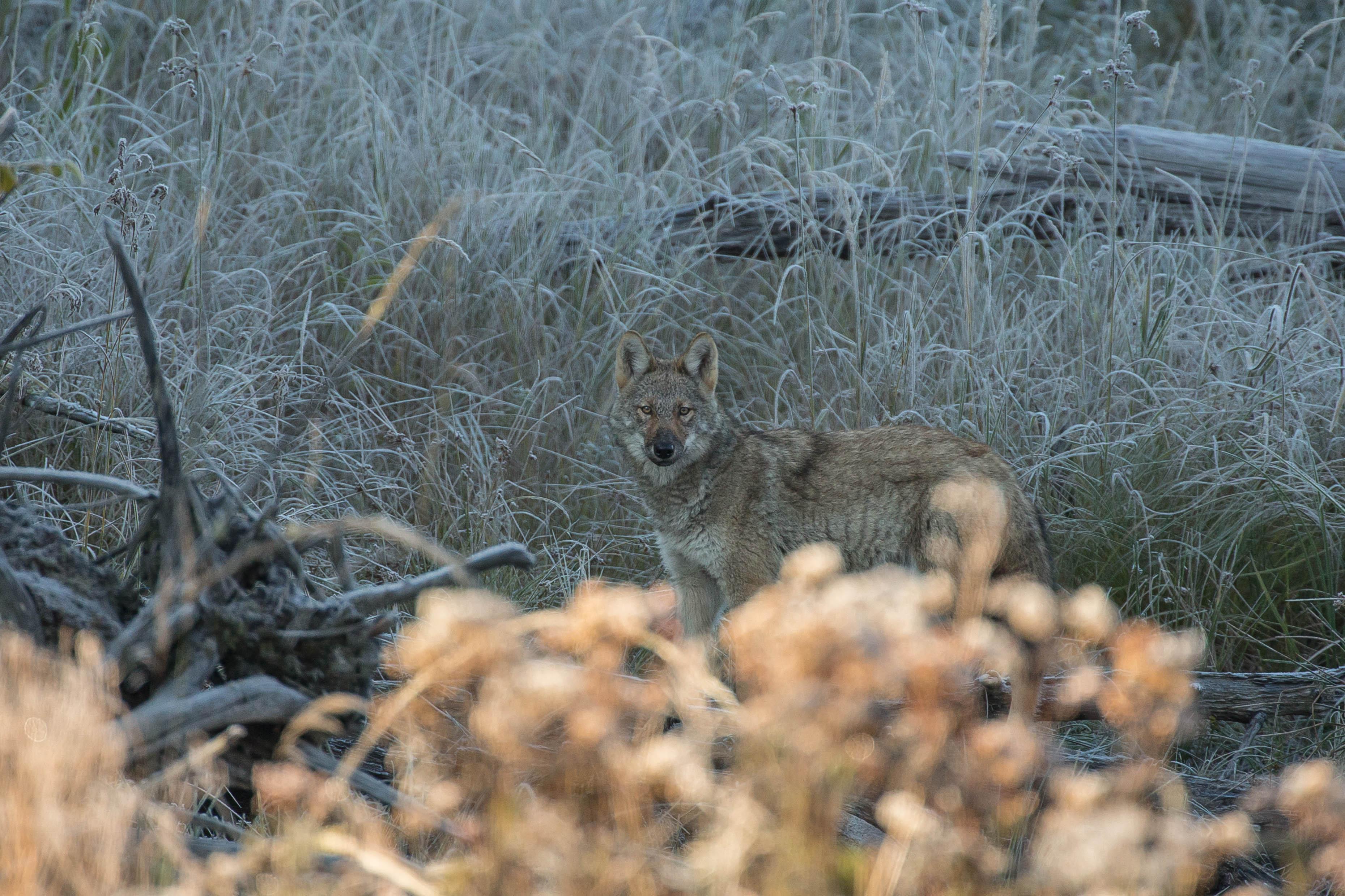 Algonquinwolfinfrostygrass.jpg