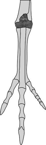 A diagram showing the placement of the ceratosaur ankle bone.