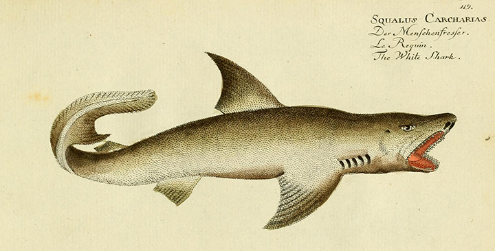 bloch great white.jpg