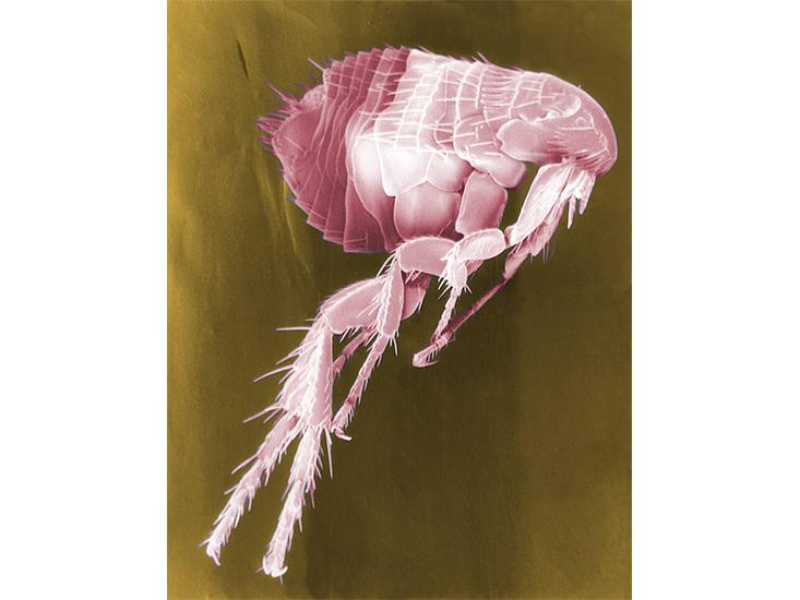 plague-flea.jpg