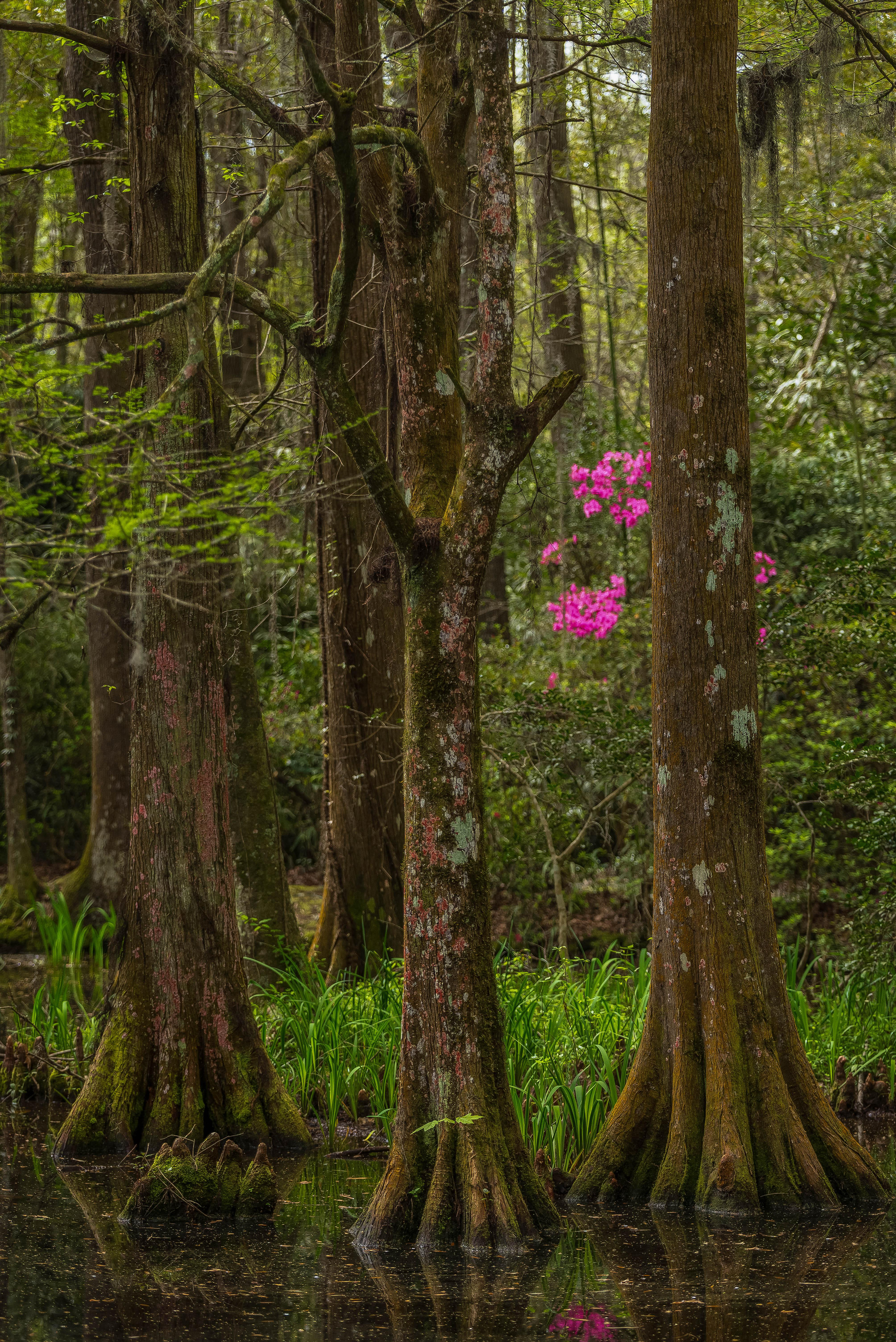 Azaleas and cypress trees in the Magnolia Plantation swamp garden