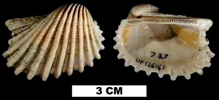 Studying extinct mollusks' fossils