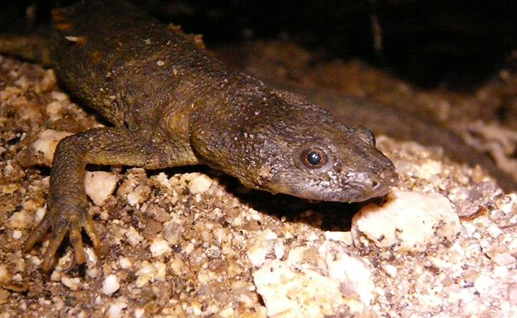 Iberian newt