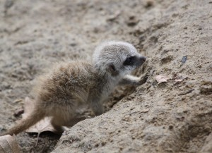 Only a monster–or a dictatorial female meerkat–could hurt this little guy.
