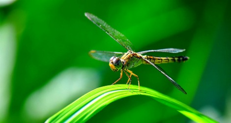 A hovering dragonfly (Aeshna juncea)