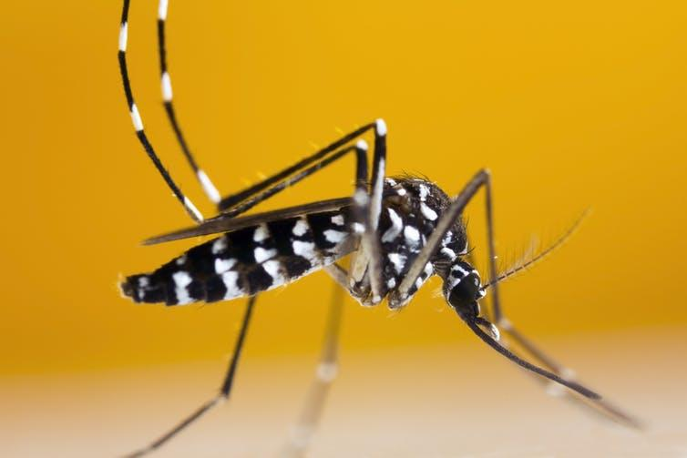 The Asian tiger mosquito, which can transmit the Zika virus, has been spotted in southern Ontario in Canada.
