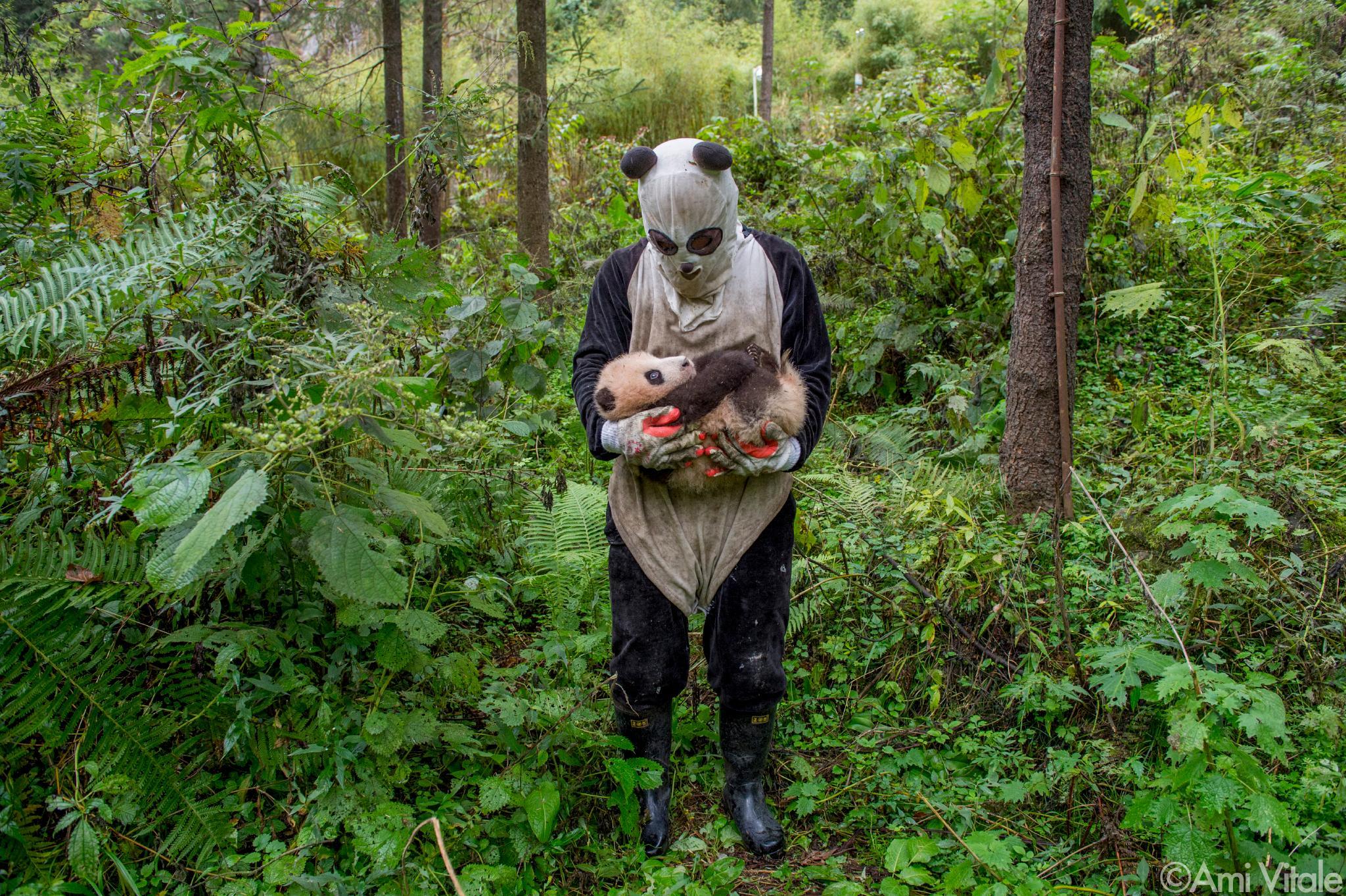 Panda love - slightly scary caretaker in panda suit looks on baby cub