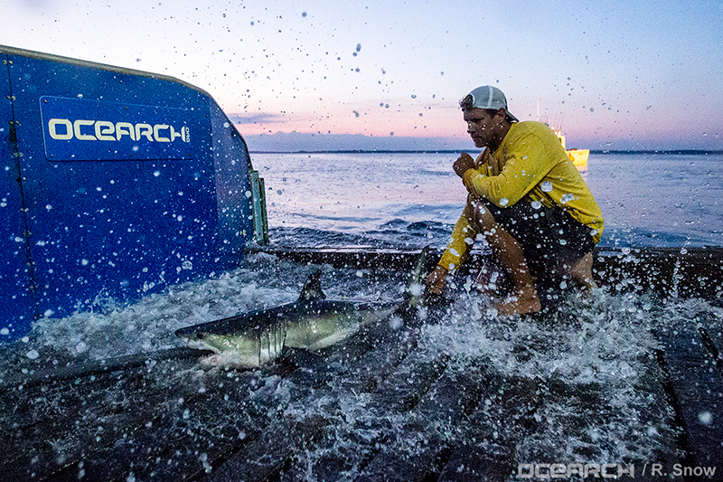 OCEARCH-shark-tagging.jpg