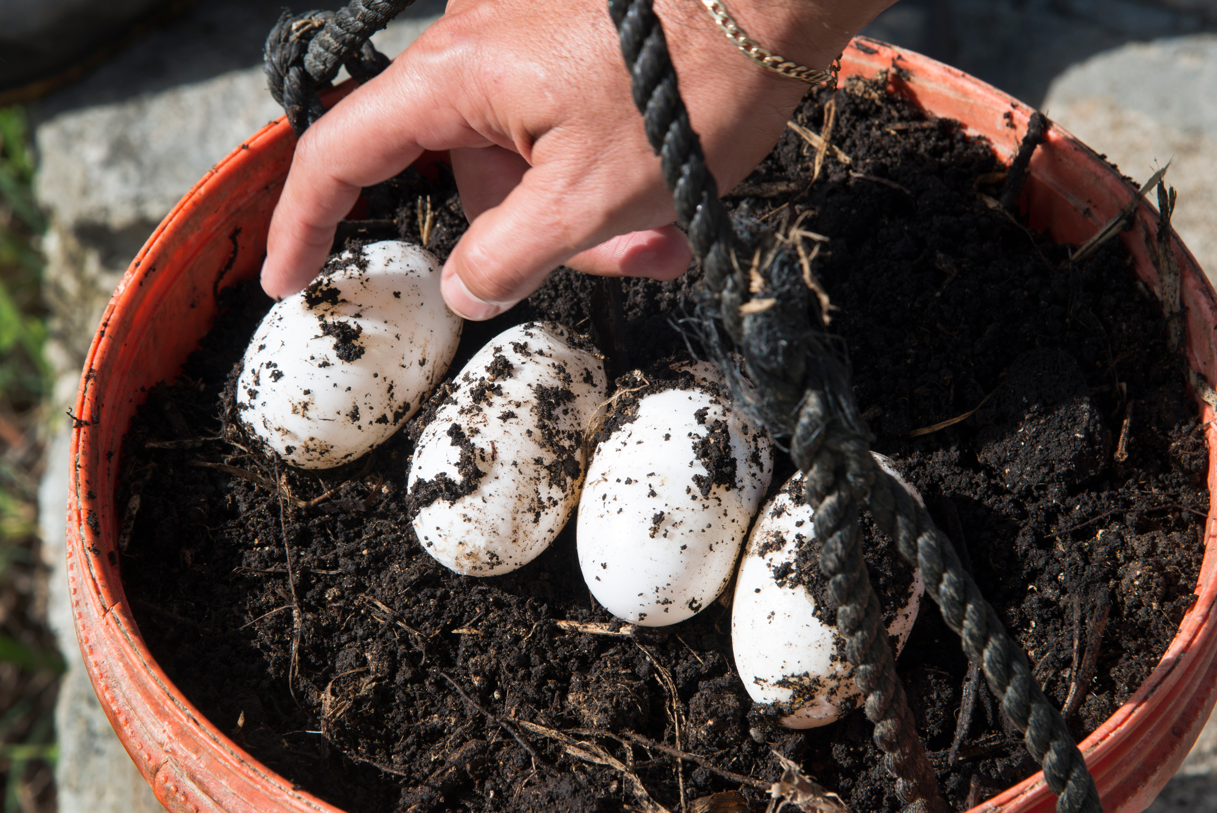 Crocodile eggs will be incubated