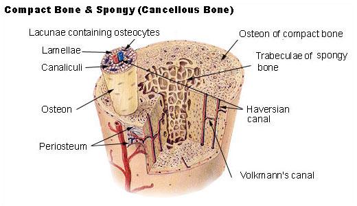 Compact spongy bone