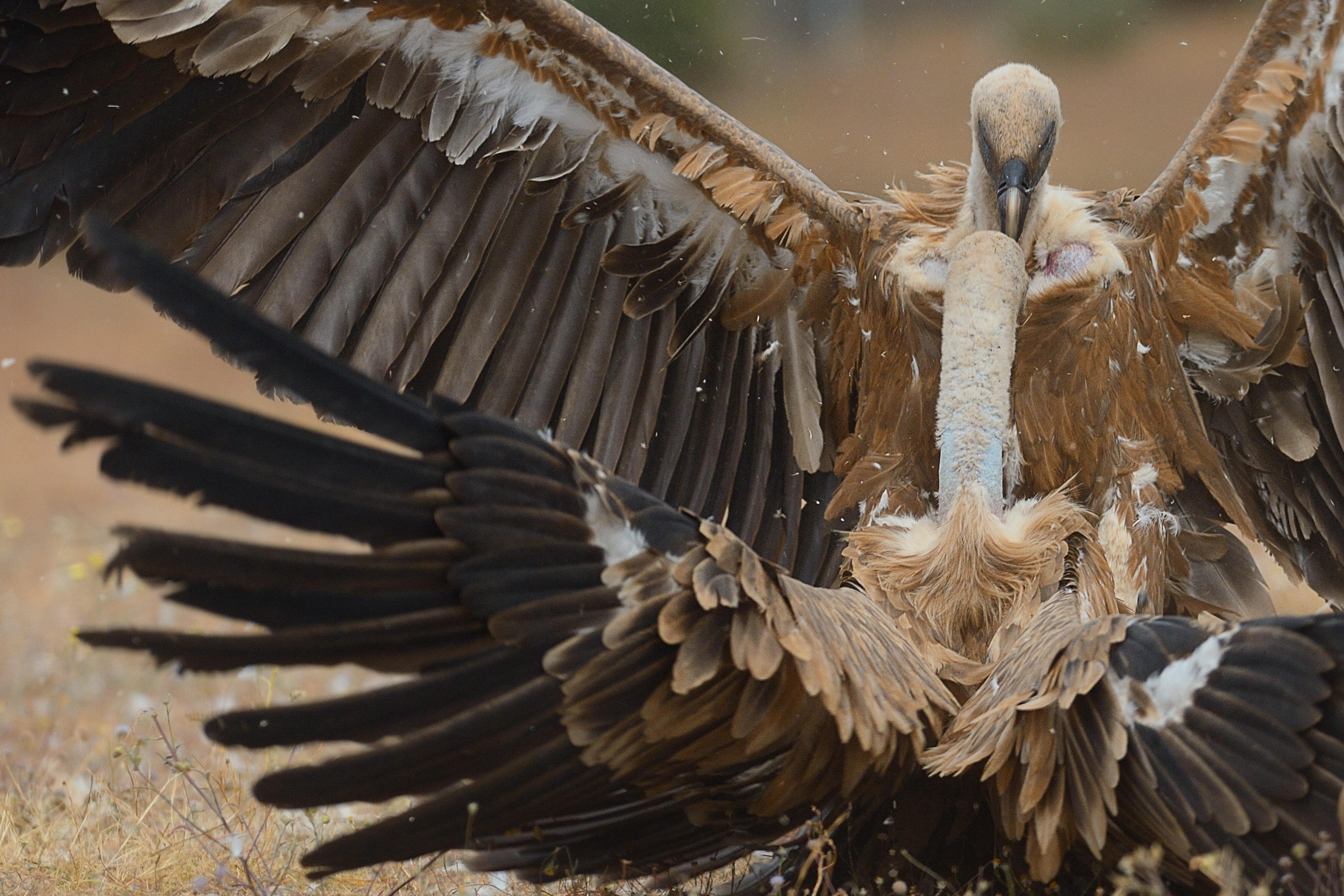 Griffon vultures, Campanarios de Azába Reserve, Rewilding Europe