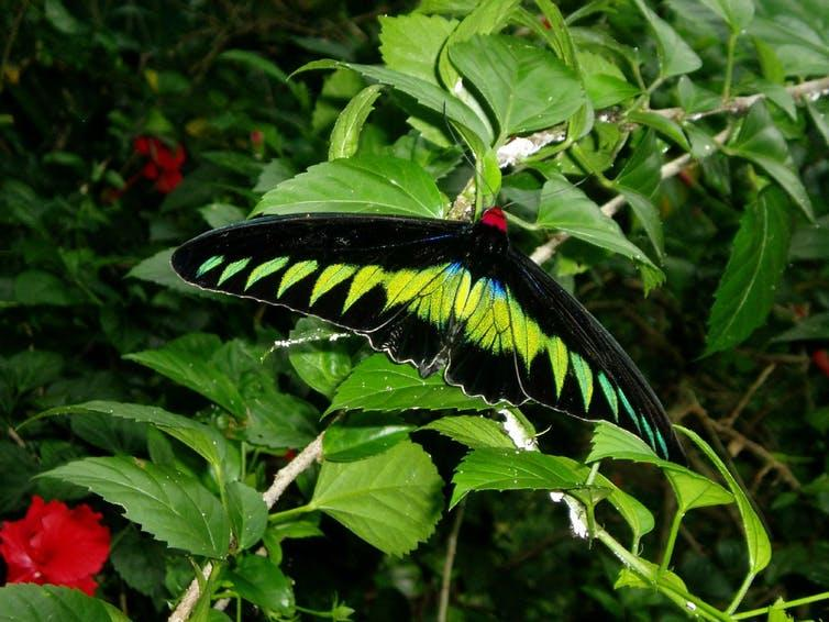 The birdwing butterfly Trogonoptera brookiana was named by Wallace for Sir James Brooke, the rajah of Sarawak.