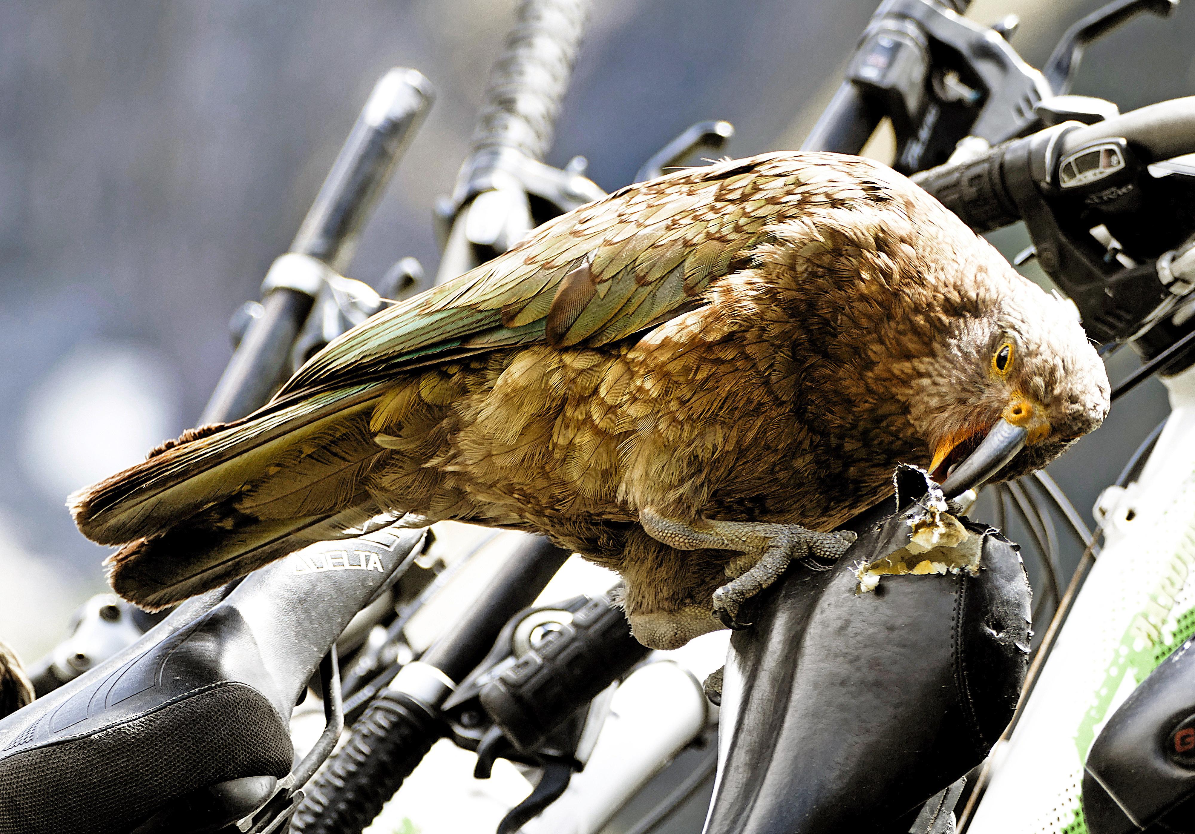 kea destroys bicycle seat
