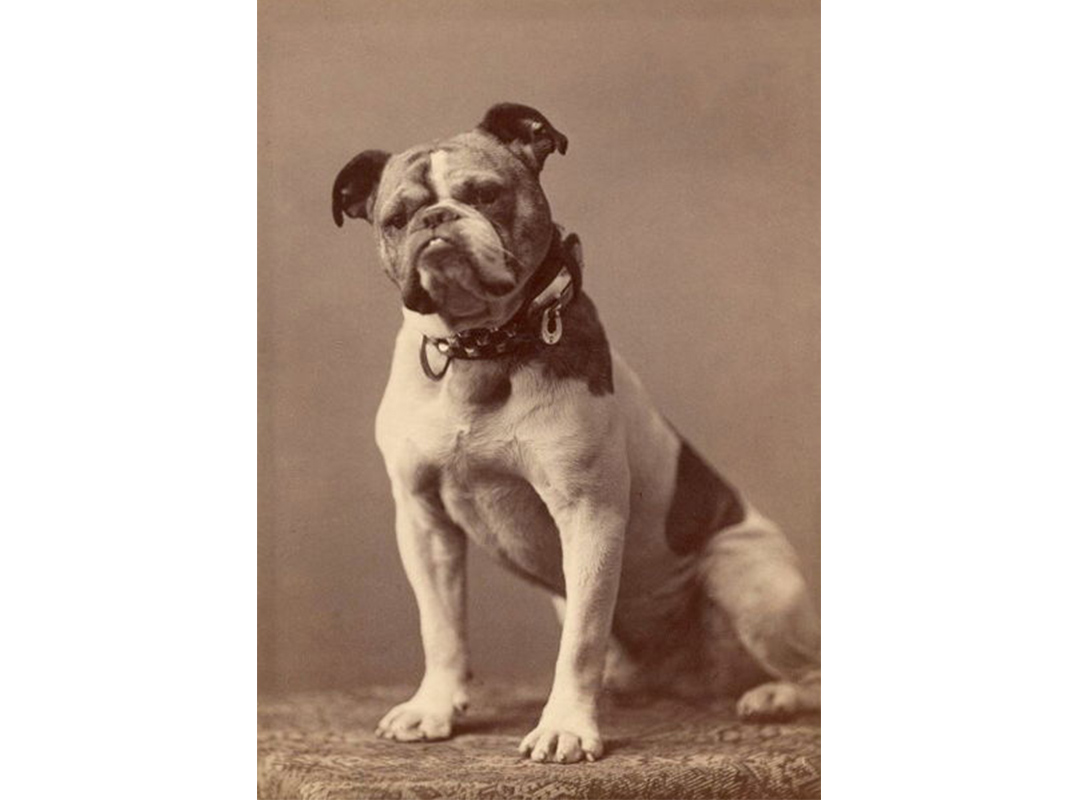 olde english bulldogge vs english bulldog bulldogs are dangerously unhealthy but there may not be 2365