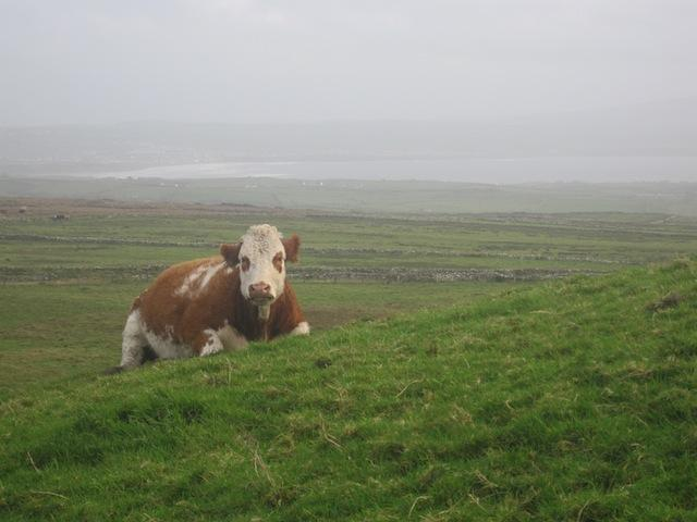 Irish cow near Cliffs of Moher, Co. Clare, Ireland