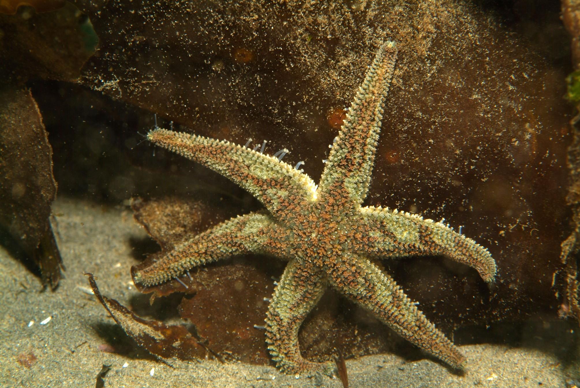 Leptasterias sea stars