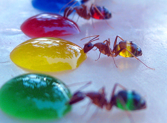 Ghost ants sip sugar water with food coloring, which is visible in their transparent abdomens.