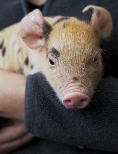 When breeders cross a ginger pig with a black pig, the results are a delightful black-spotted ginger piglet.