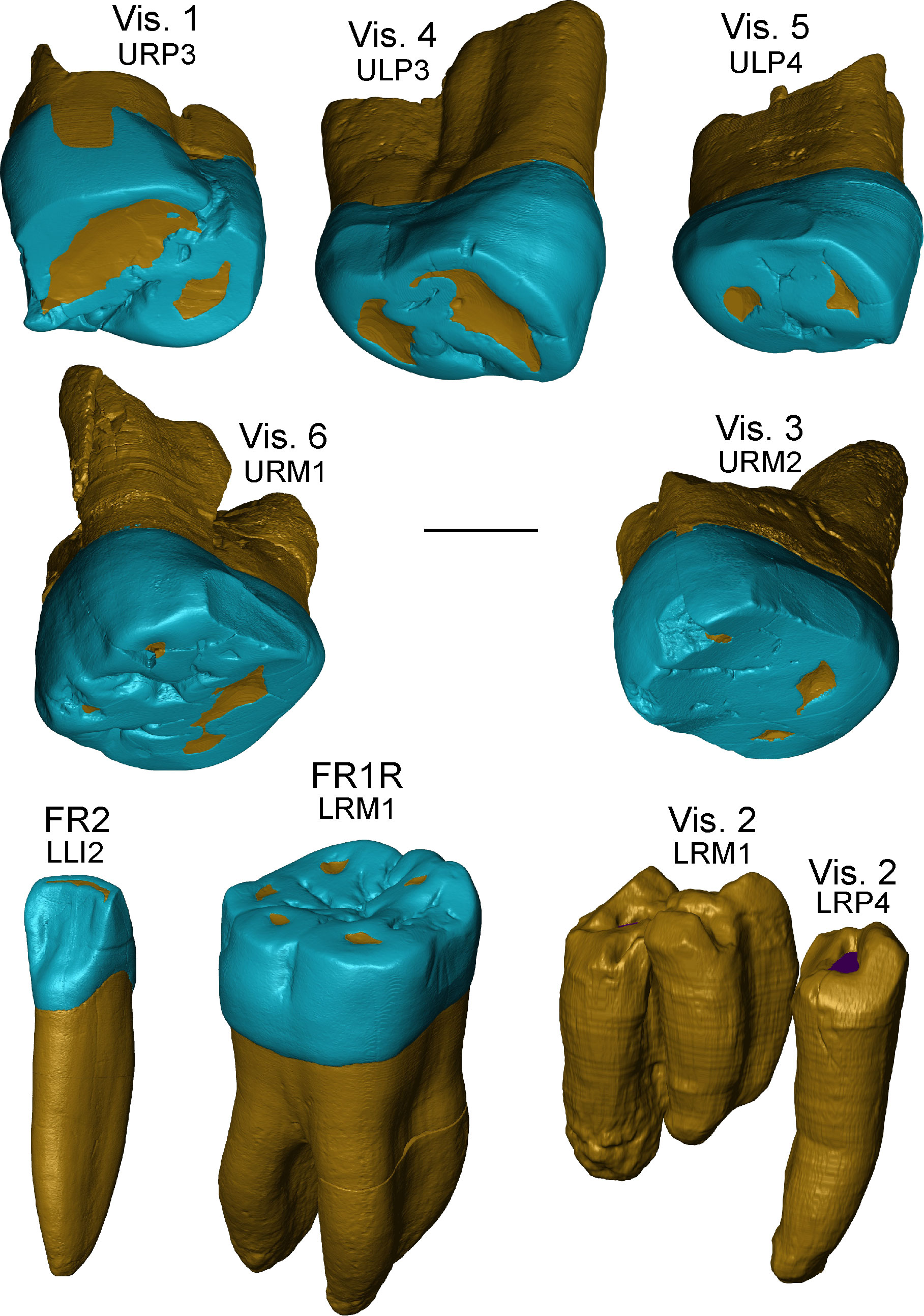 Neanderthal Teeth Rendering