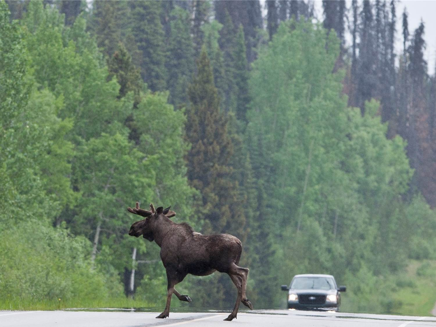 moose on road.jpg