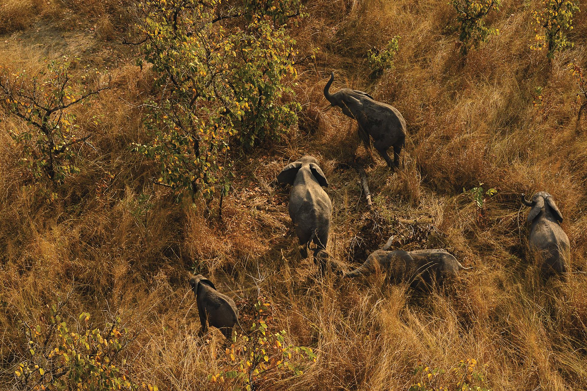 Elephants at Congo's Garamba