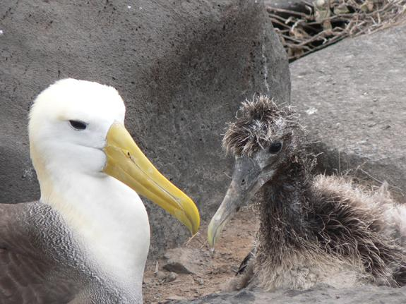 A waved albatross looks after its chick on the Galapagos Islands.