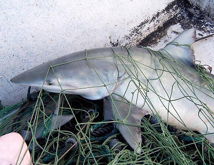millions of sharks become bycatch